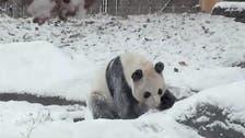 Video of ecstatic Toronto panda goes viral