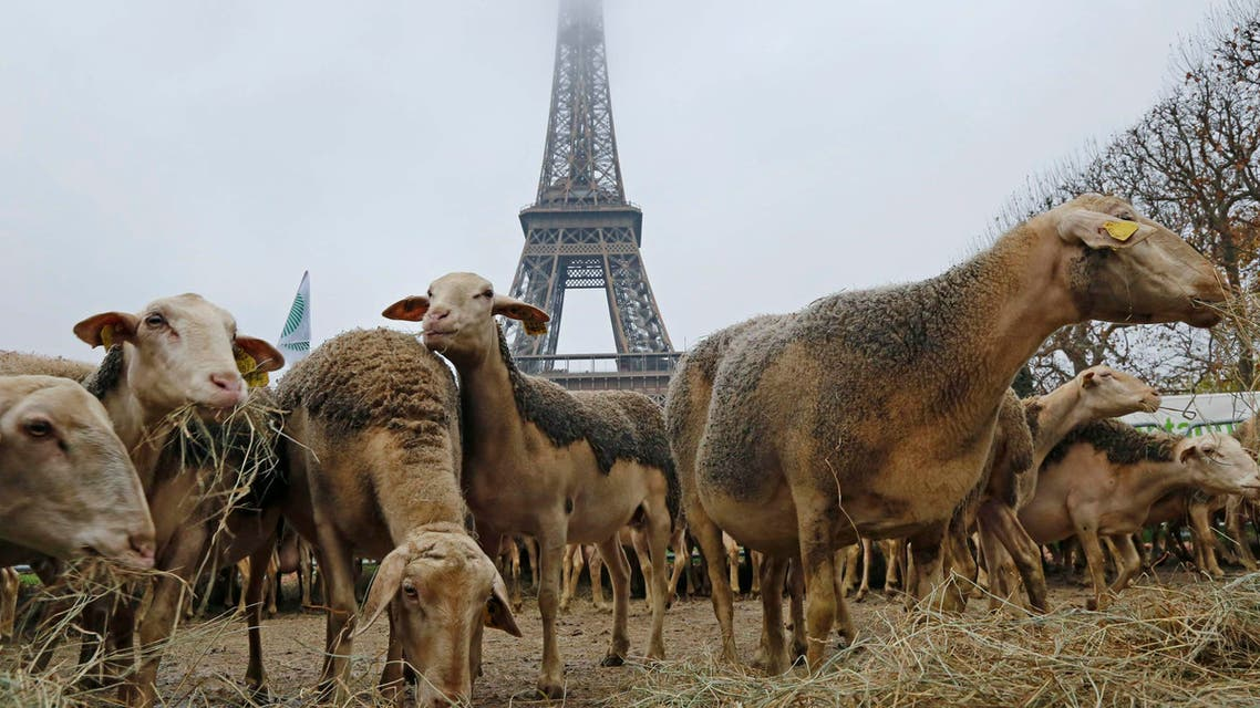 Sheep protest reuters