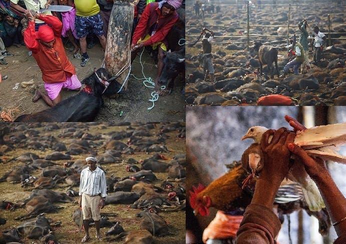أربع صور لعمليات التصفية الجماعية للحيوانات والطيور في سهل أمام معبد هندوسي بالنيبال