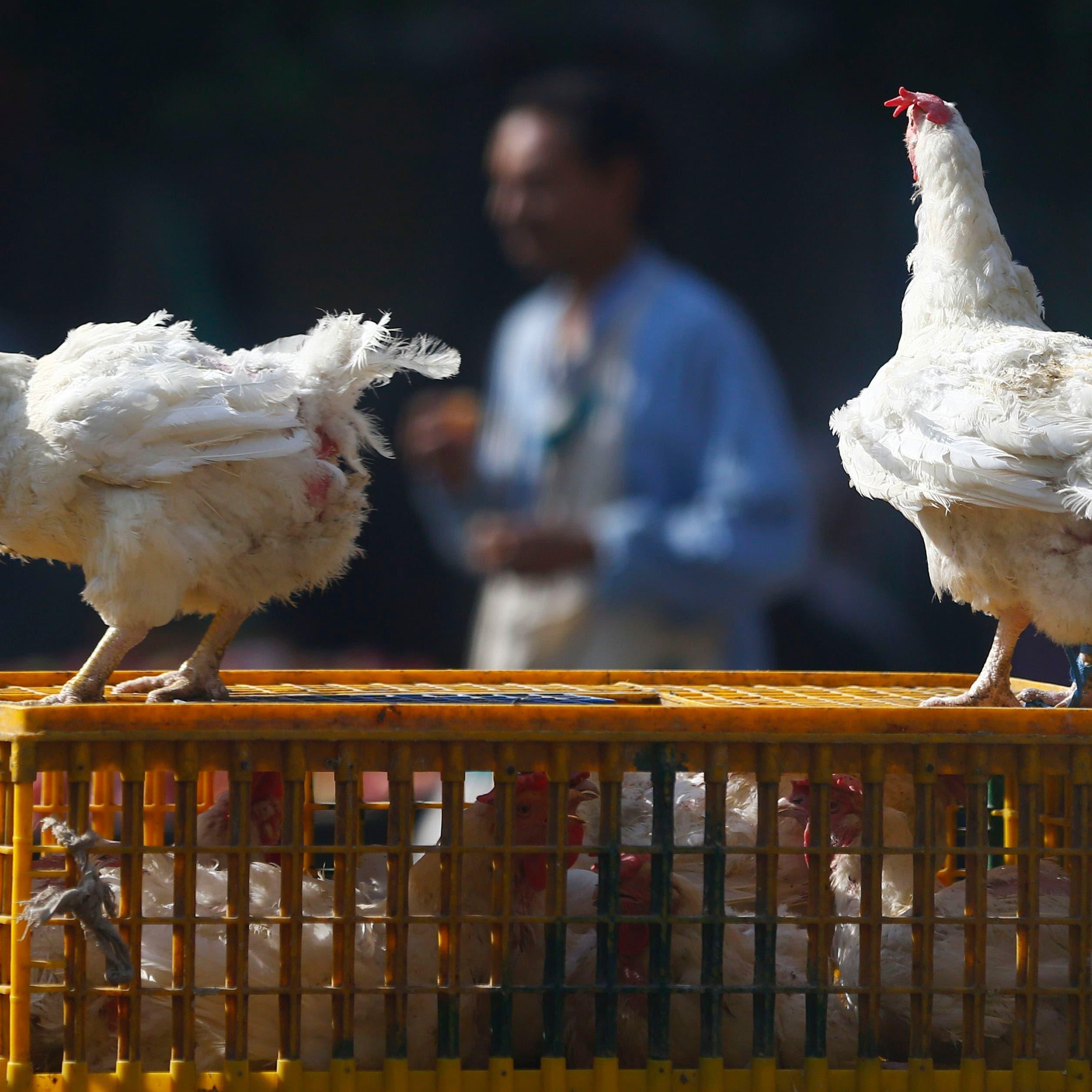 بريطانيا: ظهور انفلونزا الطيور في مزرعة بشمال البلاد