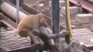ویدیو.. میمونی دوستش را از مرگ حتمی نجات می دهد