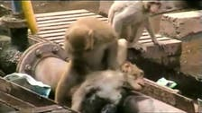 Watch monkey reviving electrocuted friend in India