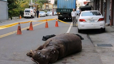 Hippo jumps from moving truck in Taiwan, startling locals