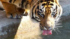 Two Sumatran tigers escape Indonesian Zoo, one shot dead