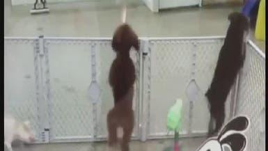 """فيديو طريف.. هذا الكلب الموهوب يرقص الـ""""سالسا"""""""