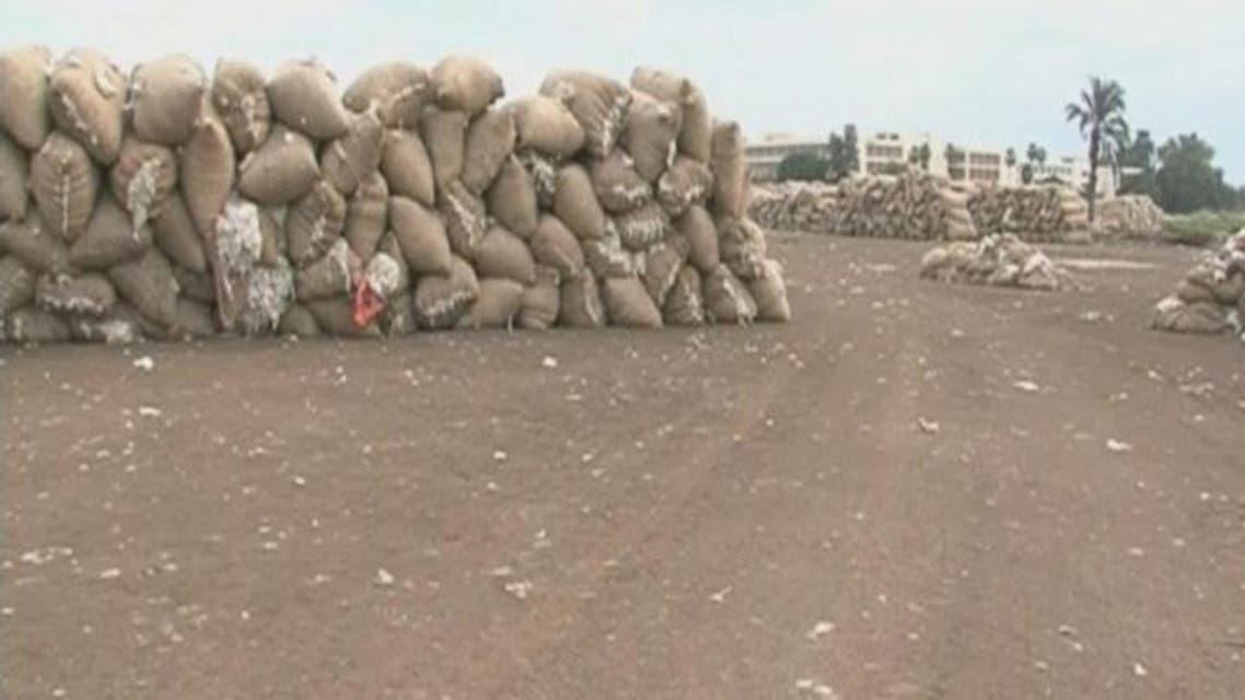 THUMBNAIL_ زراعة القطن المصري