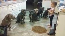 Little girl keeps six hungry pitbulls waiting as she prepares food