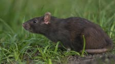 UK scientists to start world's biggest rat cull