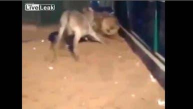 بالفيديو.. حمار يهاجم أسداً ويصيبه بالخوف والفزع