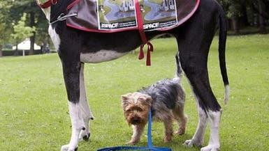 تعويض لياباني مات كلبه بأزمة قلبية في معركة كلاب