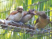 طيور ملك نيبال المخلوع تتضور جوعاً داخل أقفاصها