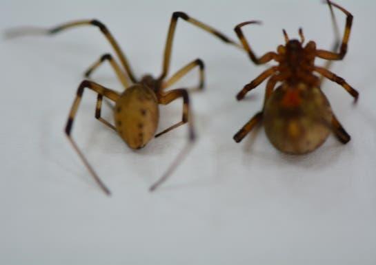 عينات عناكب الأرملة السوداء التي جمعها فريق مجموعة دراسات الحشرات للتصنيف