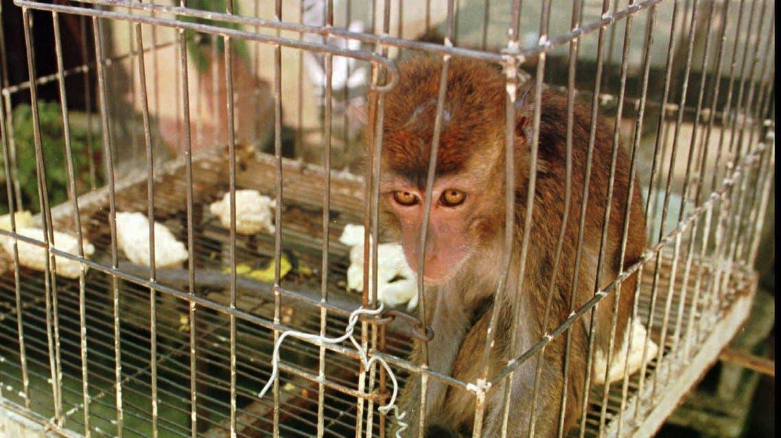 Macaque monkey Manila AP