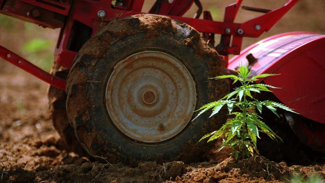 Cannabis munchies are all in the brain (AP)