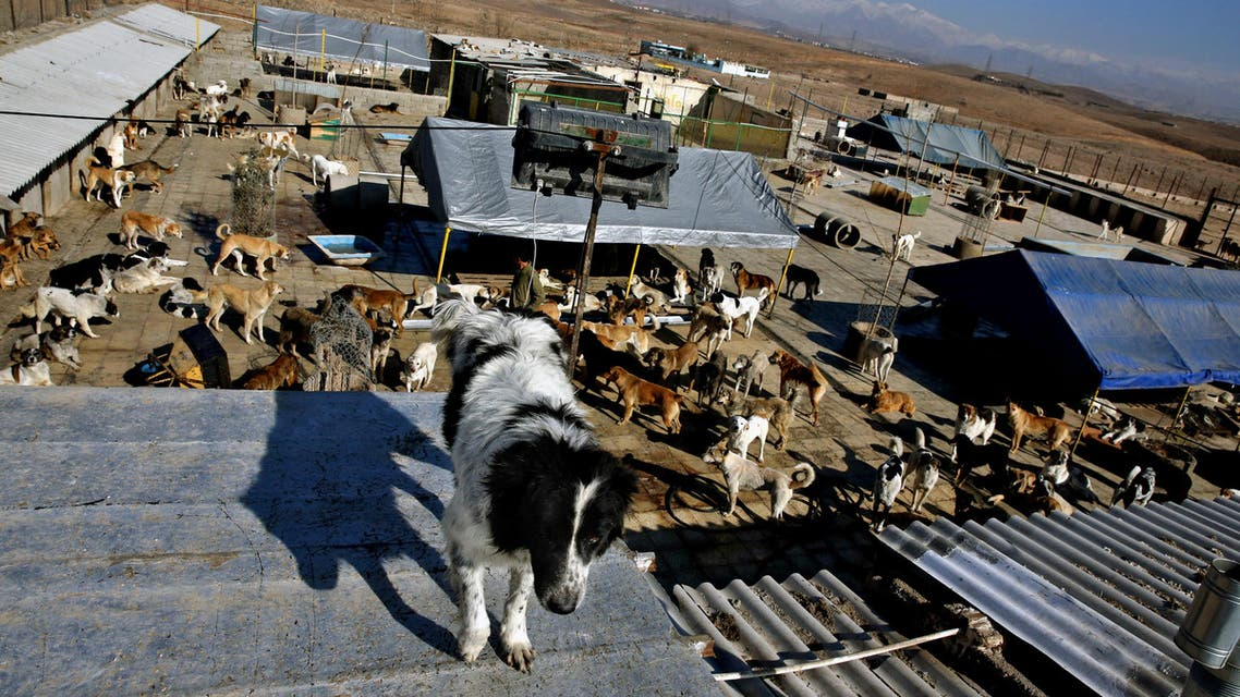 In this Friday, Dec. 5, 2014 photo, a dog stands on a rooftop at the Vafa Animal Shelter in the city of Hashtgerd 43 miles (73 kilometers) west of the capital Tehran, Iran. Man's best friend is seen as anything but in Iran, where city workers gun down strays and conservatives view pet dogs as a corrupting Western influence. But in a rare animal shelter in the countryside west of Tehran, hundreds of lucky pups have found mercy, and a growing number of Iranians are learning to love them. (AP Photo/Vahid Salemi)