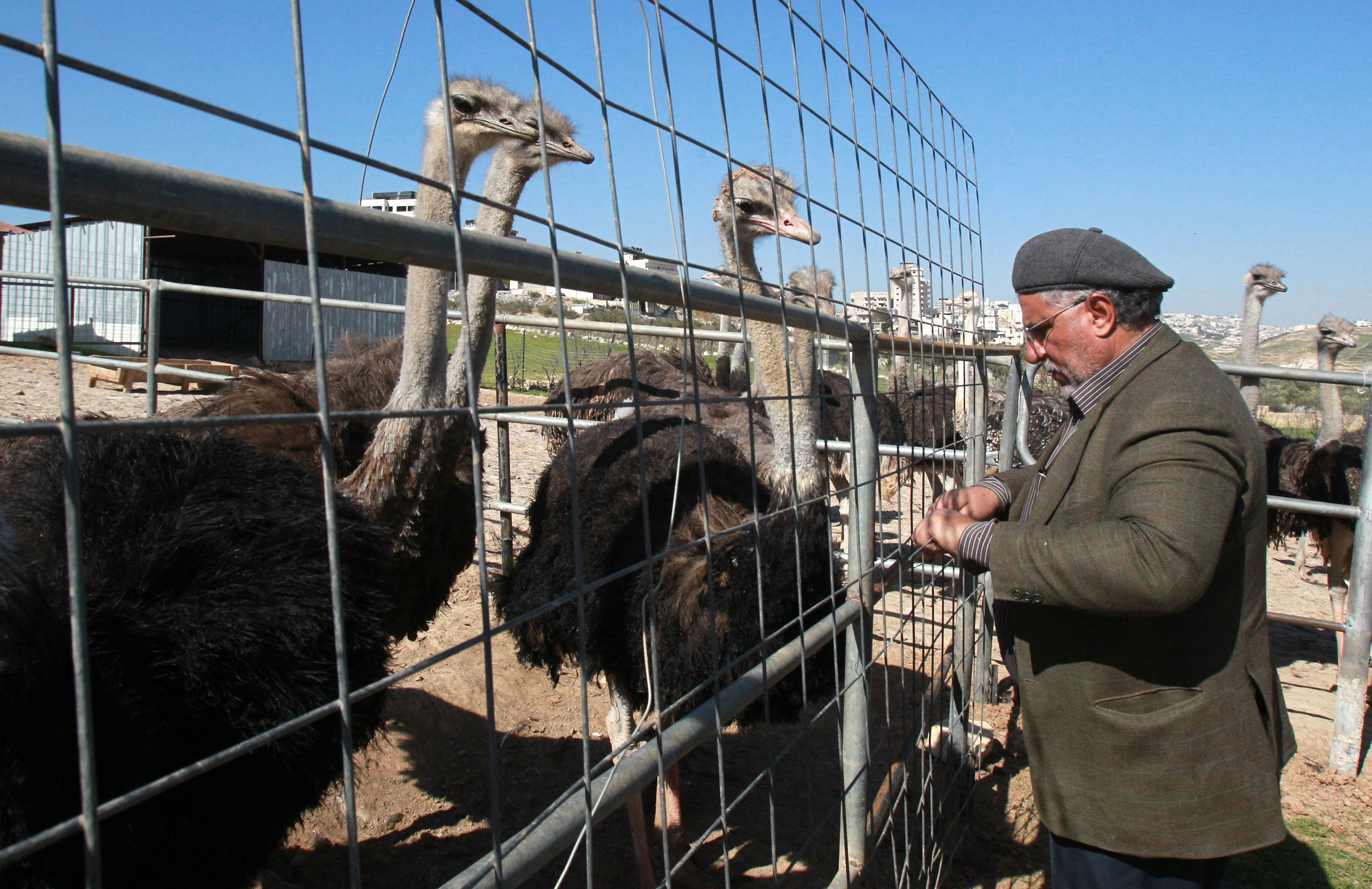 Fifty-year old Palestinian farmer Abdulrahman Abu Tir checks his ostriches at his ostrich farm near the West Bank city of Bethlehem on February 3, 2015. (AFP)