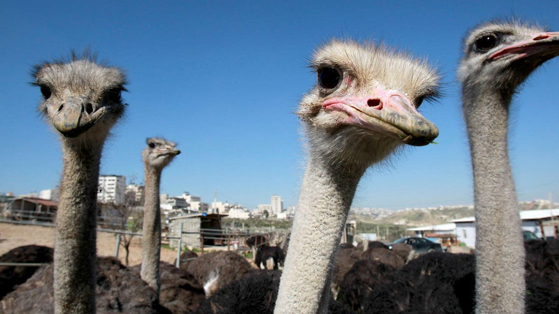 Ostriches stand in a pen at an ostrich farm, set up by fifty-year old Palestinian farmer Abdulrahman Abu Tir, near the West Bank city of Bethlehem on February 3, 2015. (AFP)