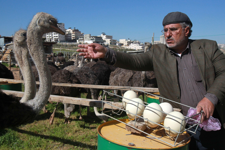 Fifty-year old Palestinian farmer Abdulrahman Abu Tir collects ostrich eggs at his ostrich farm near the West Bank city of Bethlehem on February 3, 2015. (AFP)