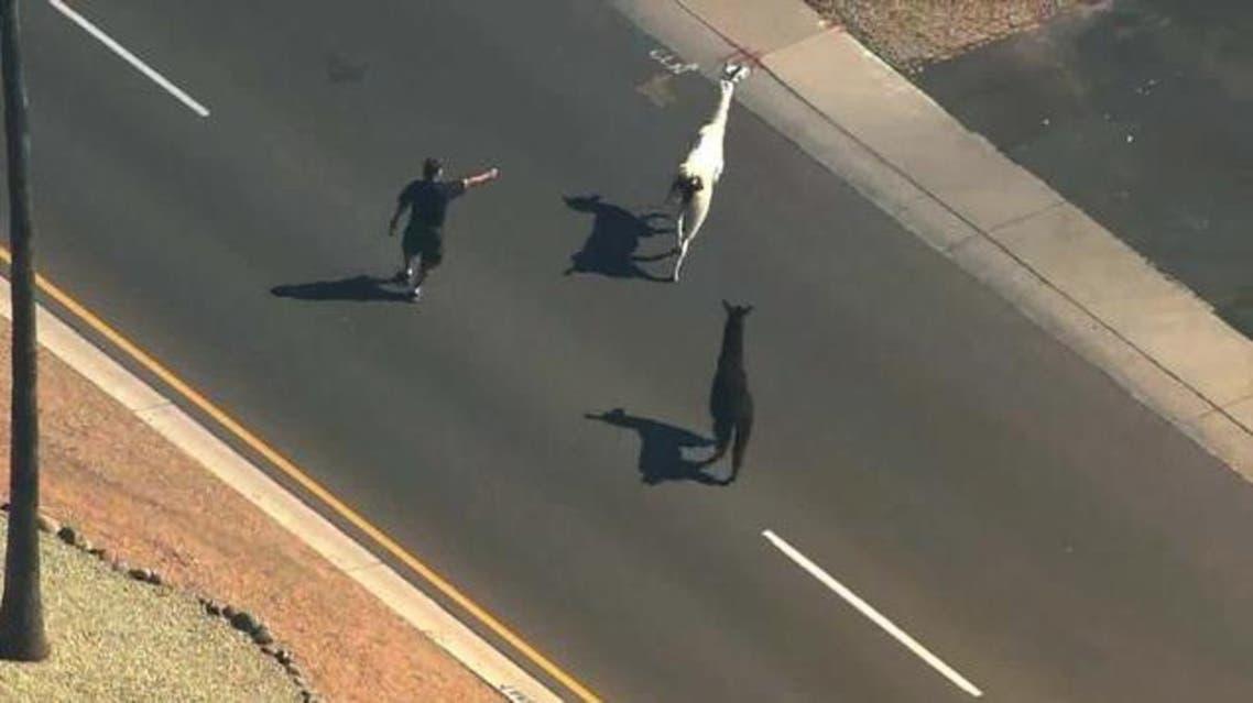 Llamas Arizona ABC15