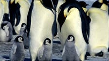 Ice age emperor penguins hit hard by the cold
