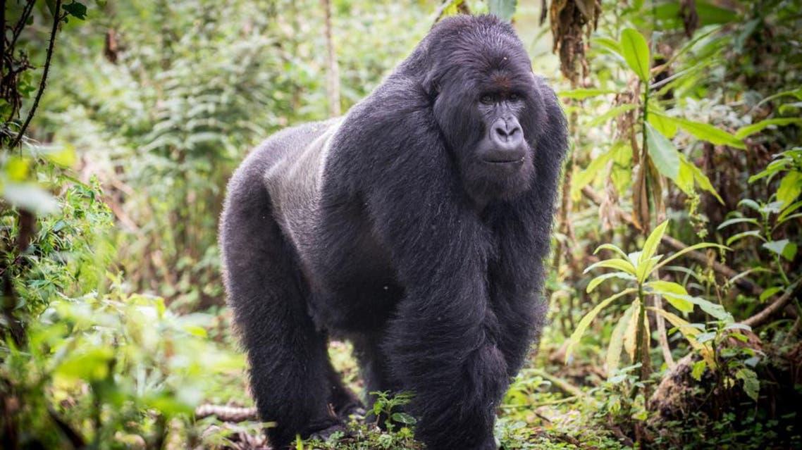 Gorilla Shutterstock