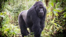Study finds gorilla origins in half of human AIDS virus lineages