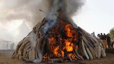 كينيا تتلف 15 طنا من العاج بقيمة 30 مليون دولار