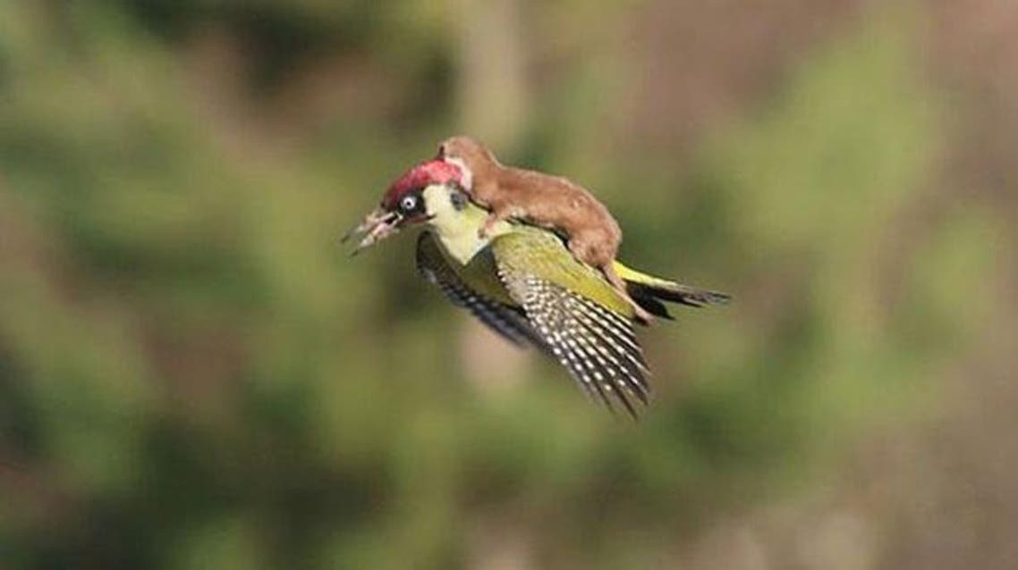 Weasel on flying woodpecker Daily Mirror
