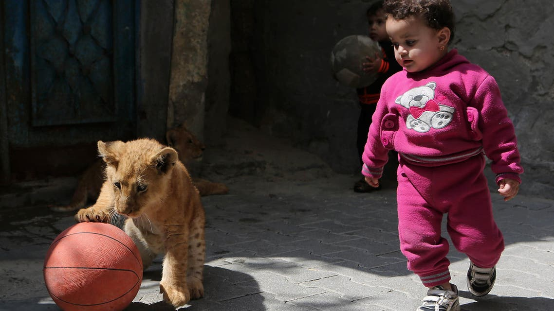 395 - RAFAH, GAZA STRIP, - : TOPSHOTS The grandchildren of Palestinian man Saad al-Jamal, play with two lion cubs outside their family house in the Rafah refugee camp in the southern Gaza Strip, on March 19, 2015. (AFP)