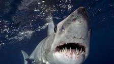 """مصر تبحث عن القرش """"ماكو"""" الذي التهم سائحاً ألمانياً"""