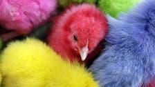Beirut bans dyed Easter chicks in animal welfare bid