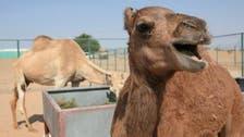 World's first cloned camel celebrates sixth birthday