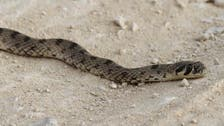 Snake alert: Rogue reptile stirs panic in Saudi school