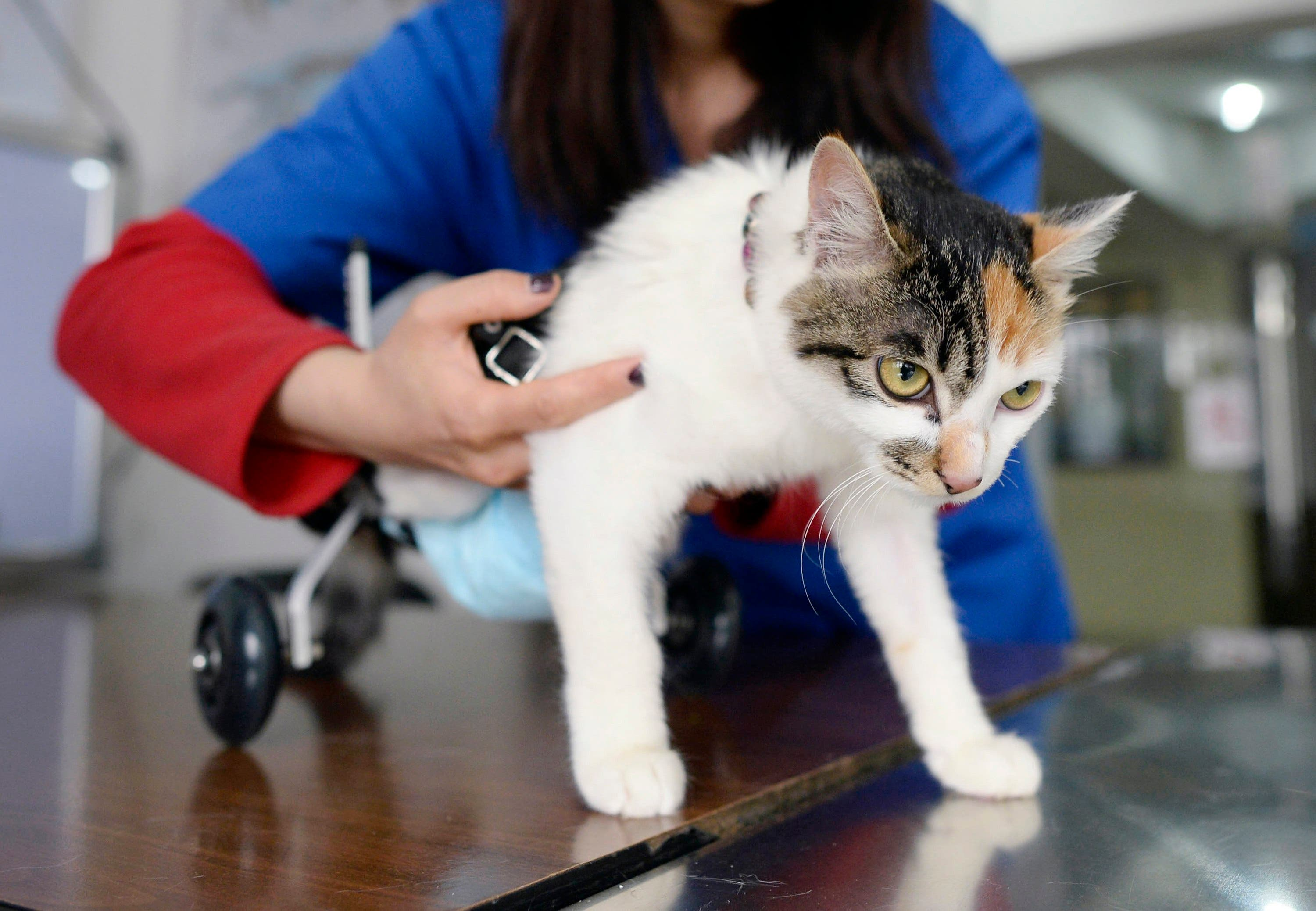 A veterinarian fits an 8-month-old cat in a prosthetic two-wheel device, at a veterinary hospital in Chongqing municipality, March 16, 2015. (Reuters)