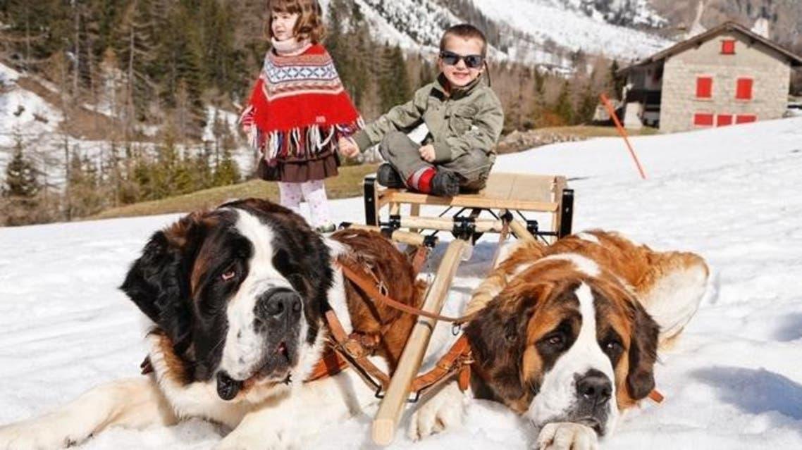 كلاب سانت برنارد