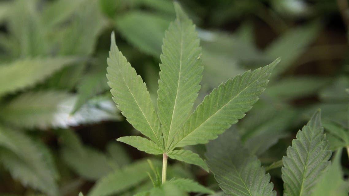 Cannabis AP