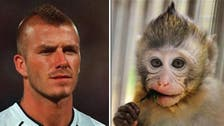 David Beckham look-a-like monkey becomes big hit in China