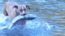 Video of two pitbulls hunting for salmon goes viral