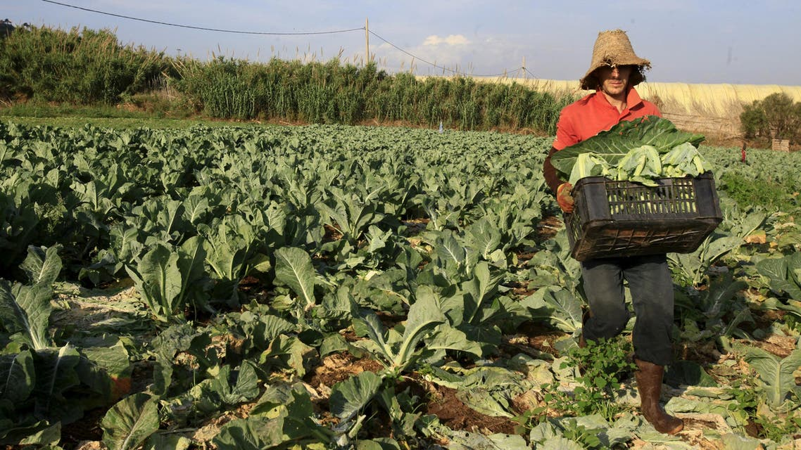 A farmer harvests cauliflowers for sale at the field in Tipaza, west of Algiers, Algeria June 3, 2015. (Reuters)