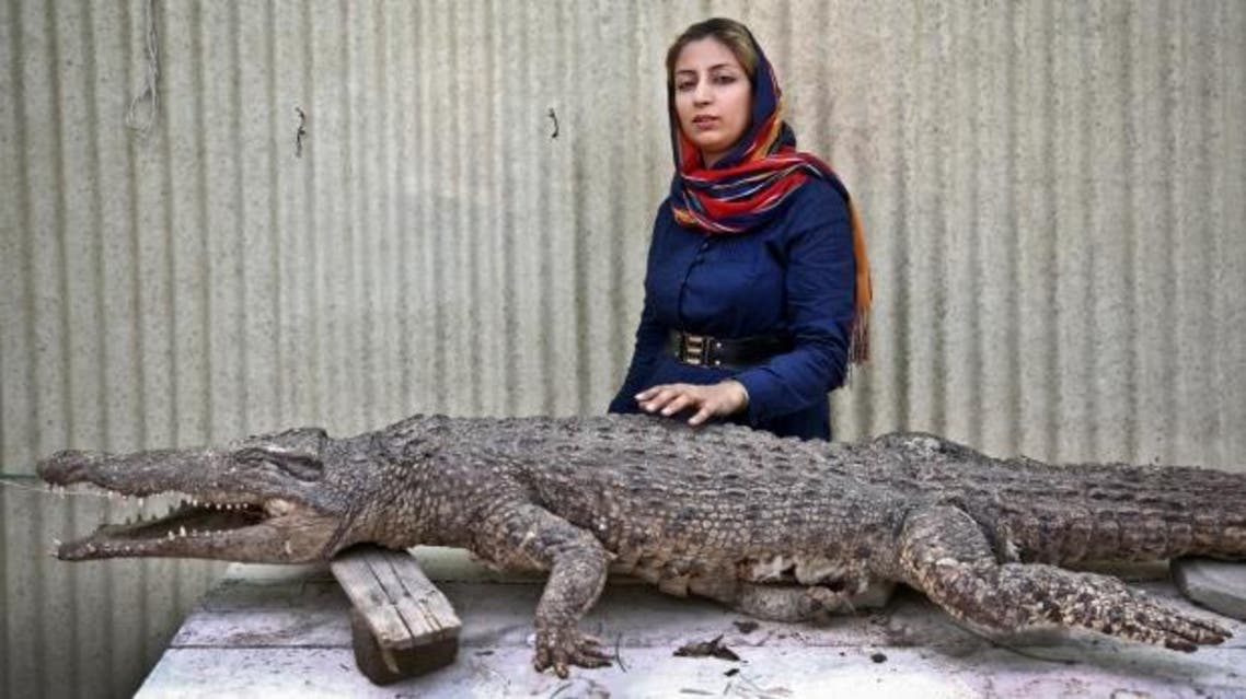 In this Tuesday, April 22, 2014 photo, Iranian entrepreneur Mojgan Roostaei poses for a photograph with a taxidermic crocodile at her crocodile breeding farm on the southern Persian Gulf island, Qeshm in Iran. (AP)