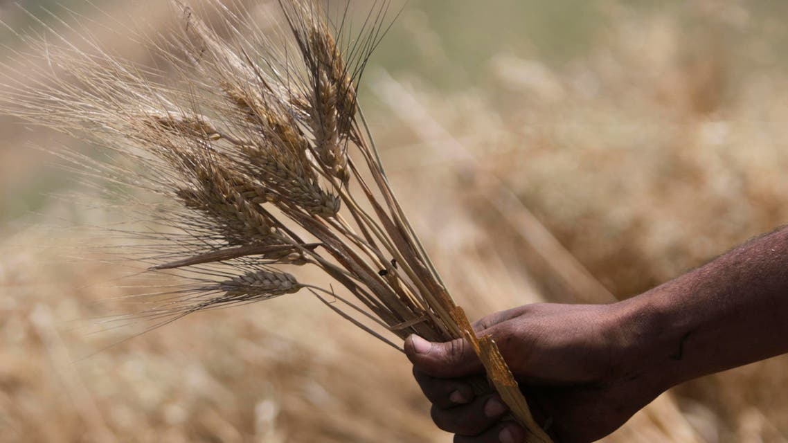 An Egyptian farmer holds wheat crops on a farm in Beni Suef, 75 miles, (120 kilometers), south of Cairo, Egypt, Friday, May 22, 2015. AP