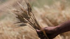 Egypt may extend tolerance for higher moisture French wheat beyond August