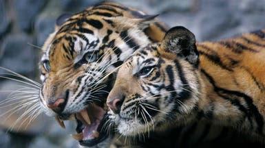 القطط الكبيرة تنتقم.. نمور تقتل مدربها جنوب إيطاليا