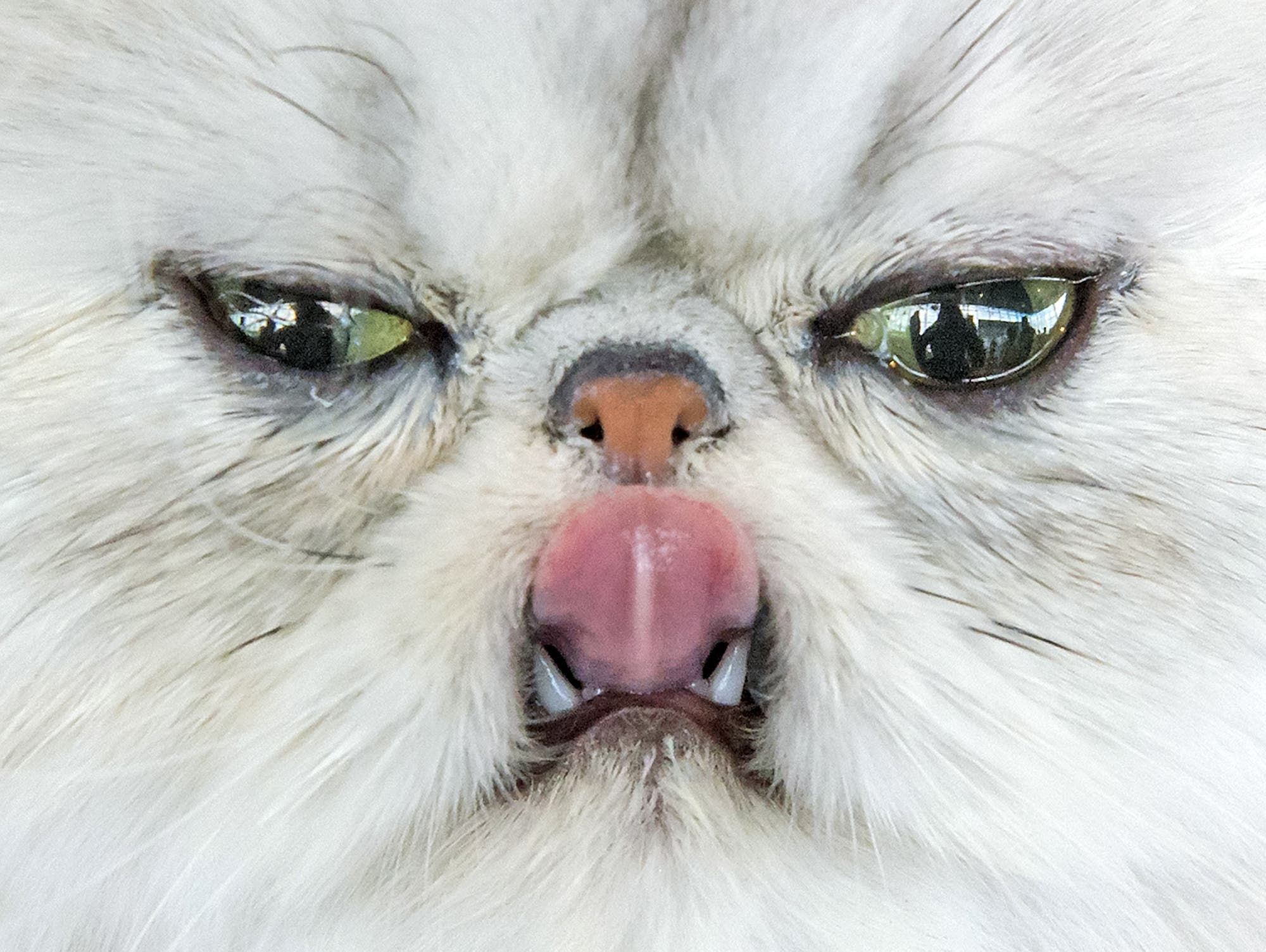 In this Saturday, June 20, 2015 file photo, a Persian cat sticks out its tongue during the International pedigree dog and purebred cat exhibition in Erfurt, Germany. Dogs and cats from 21 countries take part at the exhibition and competitions. (AP Photo/Jens Meyer, File)