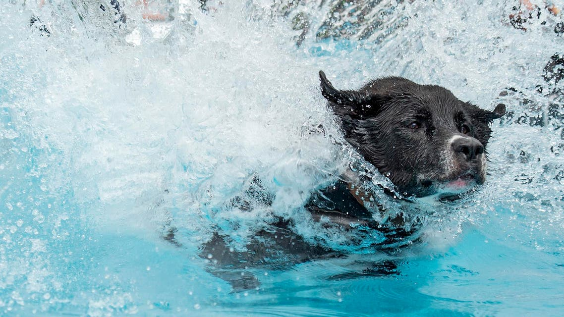 Europoean Champion half-breed dog 'Balu' jumps into the water during the dog diving competition during the International pedigree dog and purebred cat exhibition in Erfurt, Germany, Saturday, June 20, 2015. Dogs and cats from 21 countries take part at the exhibition and the different competitions. (AP Photo/Jens Meyer)