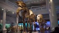 العثور على بقايا حيوان ضخم من أسلاف الفيلة في رومانيا