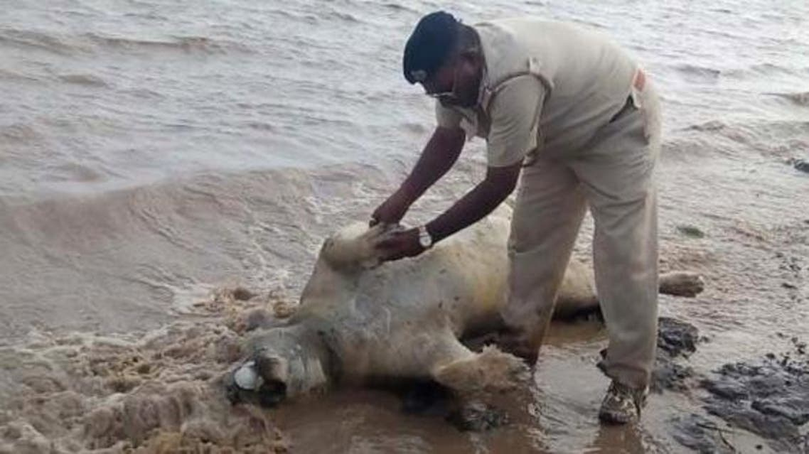 """An Indian police personnel examines the body of an Asiatic lion on the banks of a river in the Saurashtra region of Gujarat on June 27, 2015. Relief workers were June 27, 2015, trying to reach residents stranded by floods in India's western Gujarat state triggered by torrential rains that have so far claimed 55 lives, officials said. Forest officials also said four endangered Asiatic lions were found dead in the Amreli and Bhavnagar districts. """"Two adult lion carcass were found floating in flood water,"""" G S Singh, Deputy Conservator of Forests, Bhavnagar told AFP. AFP -PHOTO / STR"""