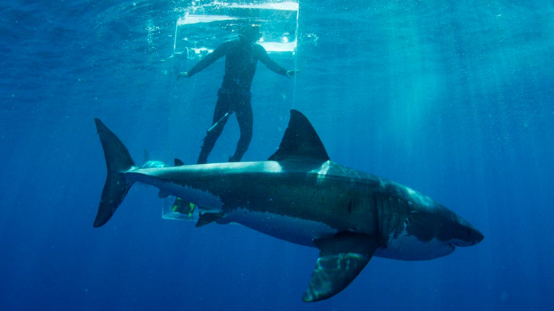 """In this 2015 photo provided by Discovery Channel, a great white shark researcher stands in the clear shark cage while a great white shark swims by during an episode of """"Shark Week."""" (AP)"""