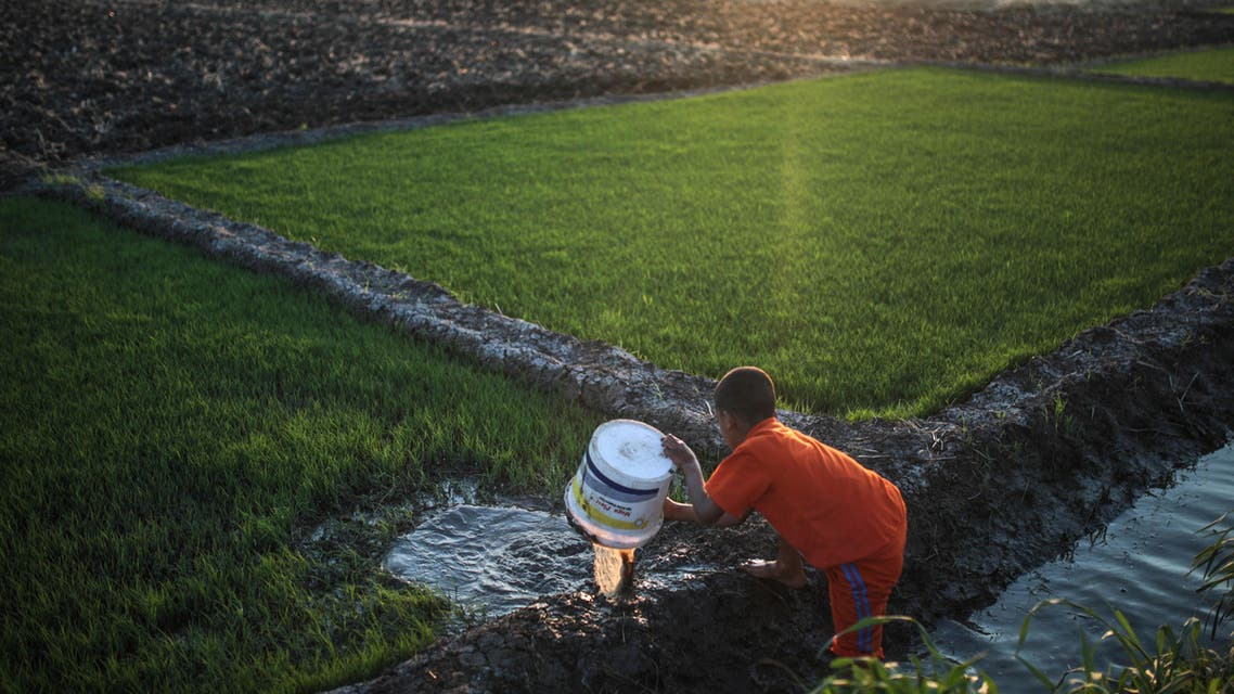 In this Thursday, May 14, 2015 photo, a young boy irrigates rice seedlings before they are transferred to a bigger farm, in a village in the Nile Delta town of Behira, 300 kilometers (186 miles) north of Cairo, Egypt. AP