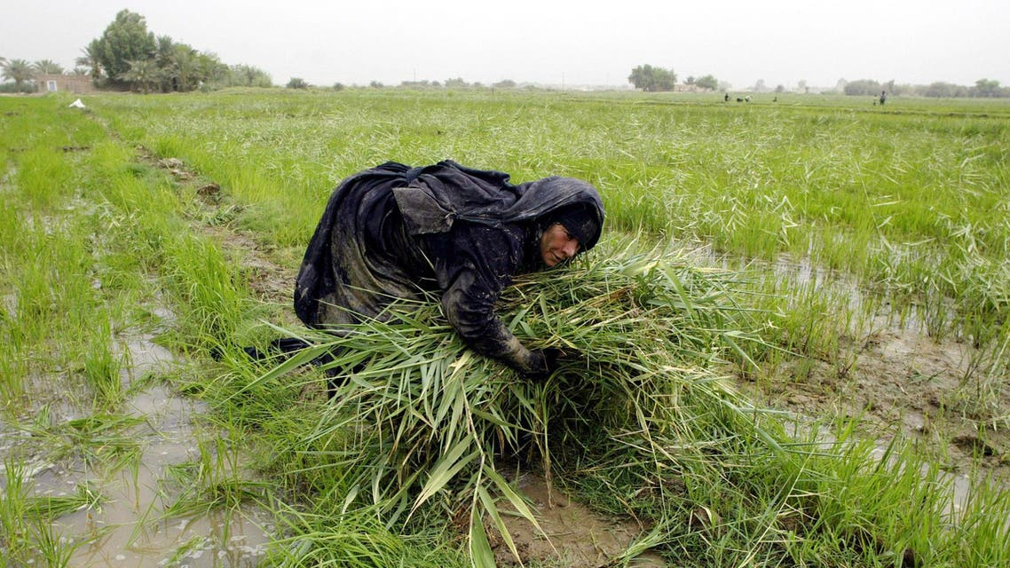 Umm Hussein harvests rice on a small farm near Najaf, 160 kilometers (100 miles) south of Baghdad, Iraq on Sunday, Aug. 19, 2007. AP